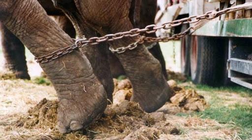 No agli animali nei circhi: mozione bocciata